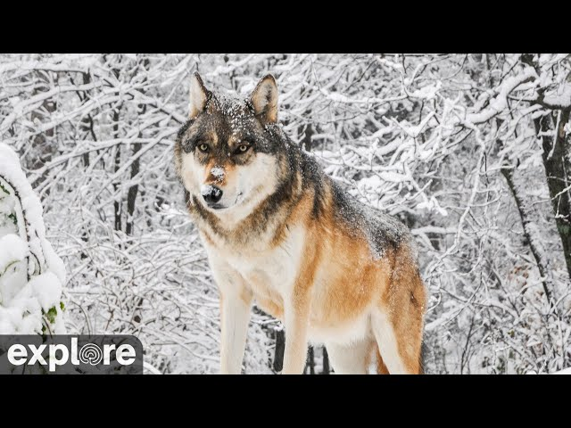 International Wolf Center South Camera powered by EXPLORE.org