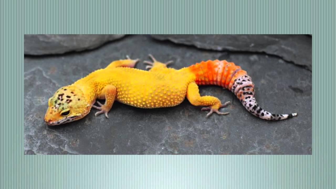 Leopard Gecko Morphs! - YouTube  Leopard Gecko M...