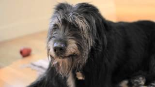 Irish Wolfhound mix dog, panting.