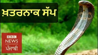 How this Man Catches Poisonous Snakes like King Cobra?: BBC NEWS PUNJABI
