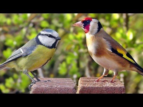 Videos für Katzen - Vögel - Stieglitz, Blaumeise, Gimpel, Rotkehlchen