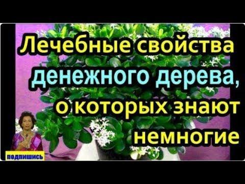 Лечебные свойства денежного дерева, о которых знают немногие. # топ5хайп