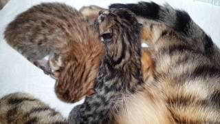 Новорожденные бенгальские котята/ Newborn Bengal kittens