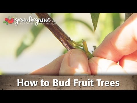 How to Bud Fruit Trees