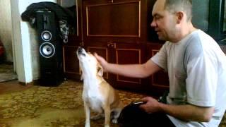 Собака поет под гармошку