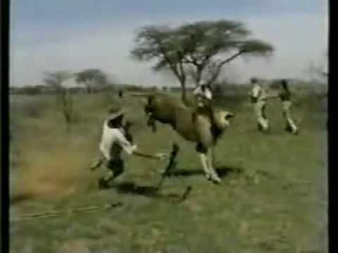 Big Lion Hunting Dog