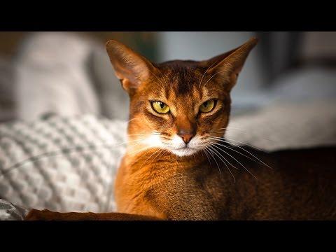 Les 12 races de chats les plus belles