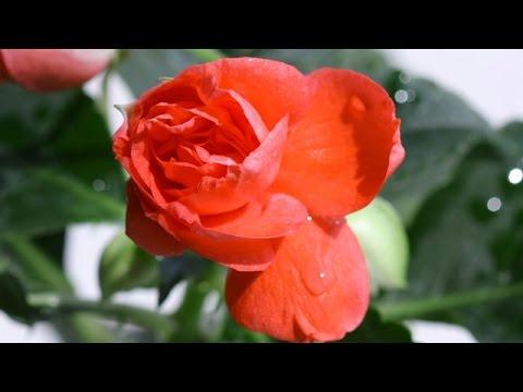 Огонёк Ванька мокрый Бальзамин Цветы Для тебя Душа моя