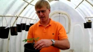Re-potting Tomato Plants - The Trick to Vibrant Tomatoes