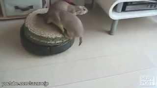 Faze amuzante cu animale istete care se plimba cu un aspirator