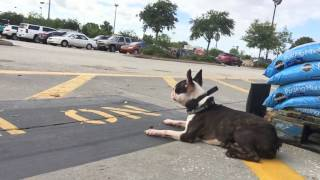 2 Year Old Boston Terrier