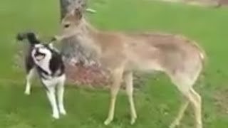 Siberian Husky Dogs Play With Wild Deer