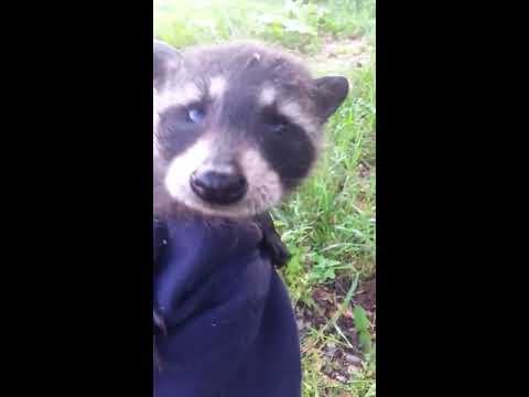I Frustrated a Tiny Baby Raccoon