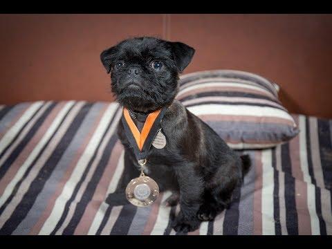 Gershwin - Pug Puppy - 3 Weeks Residential Dog Training