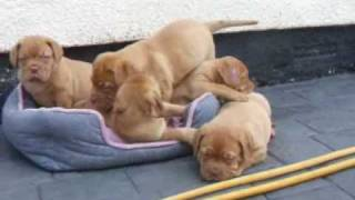 5 Boys Dogue De Bordeaux Puppies