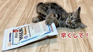 初めての粉ミルクに興奮しすぎてフライングしてしまった子猫w