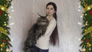 Роже ровно 1 год, вот какой он бегемот... / Большой кот мейн кун/  ЛИРИКУМ