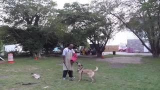Bite Work. K9 Protection. Shutzhund Training. K9koncepts.
