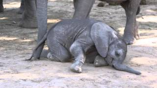 Baby elephant determined to get up and walk! thumbnail
