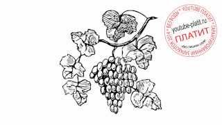 Как нарисовать ветку винограда карандашом поэтапно