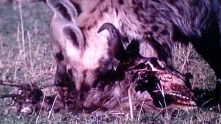 【サバンナの掃除屋】死肉や骨まで食べ尽くすハイエナの食事映像