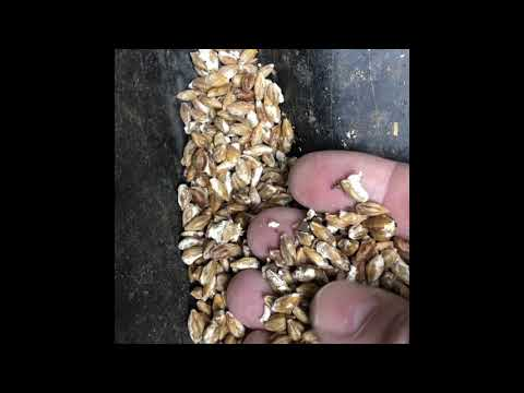 Engerlingsbekämpfung in Gurtnellen