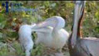 Saving a pelican