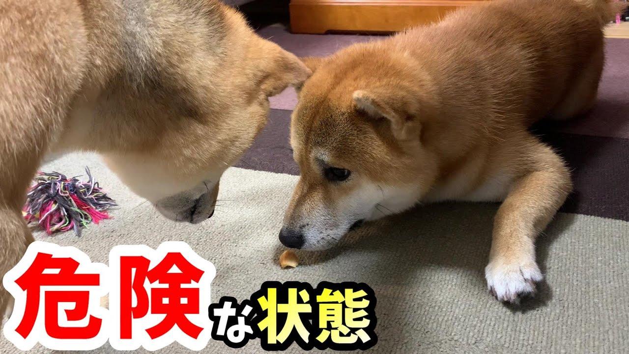 狙われたパンを守る柴犬を見てかつて起きた危険な瞬間を思い出しました!