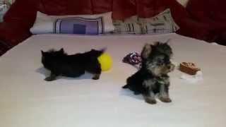 Yorkshire Terrier Extra Mini 350 Gramm