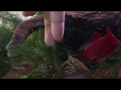 Hand-feeding My Marbled Crayfish (marmorkreb Or Self-cloning Crayfish)!