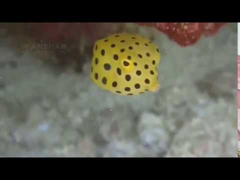 Follow Yellow BoxFish