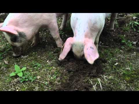 Pigs rooting in the dirt! from YouTube · Duration:  1 minutes 26 seconds