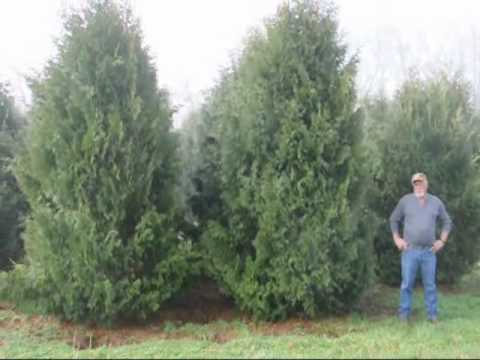 How To Trim A Spruce Tree And A Pine Tree Trimming 101 - Youtube