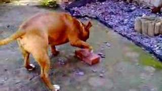 Staffordshire Bull Terrier Barking At A Brick!