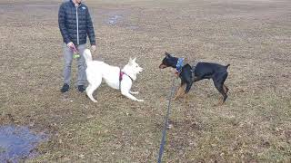 Ace the Doberman and his white German shepherd friend