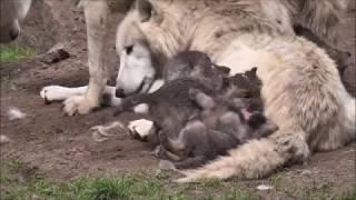 Удачная на днях была охота, Легко нашел я логово волков