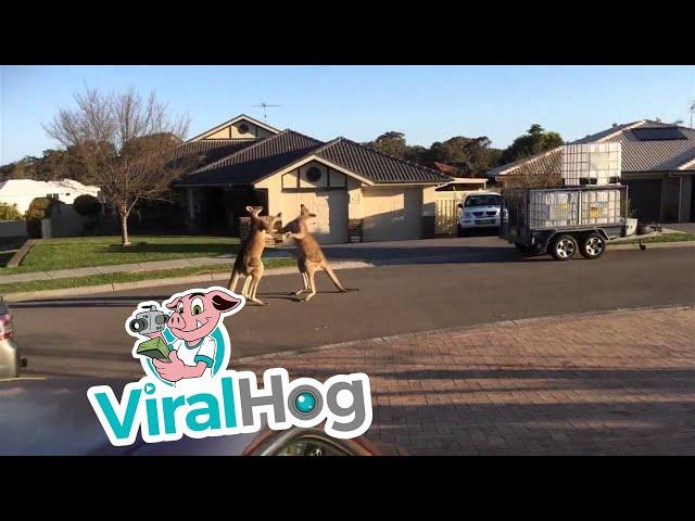 Wild kangaroo street fight – Aussie style