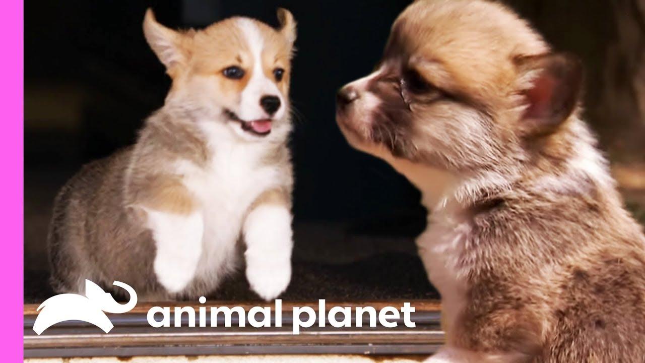 Corgi Pups Explore The World On Their Tiny Legs Too Cute Youtube