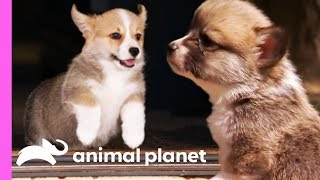 Corgi Pups Explore The World On Their Tiny Legs | Too Cute!