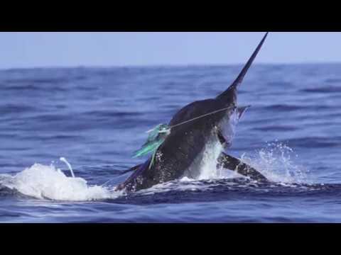 MARLIN MAGIC II   2016 KONA BLUE MARLIN FISHING