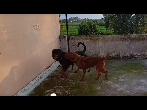 Meet My Dog Roweiller And French Mastiff