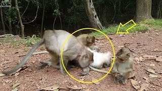 monkey grooming monkey, monkey find lice, monkey eating lice,life of monkey with mom crabzilla