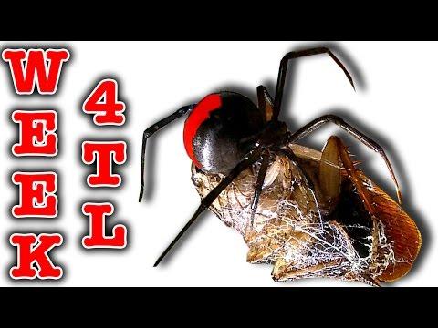 Killer Spider Vs Spider Redback Nasty Girls Week 4 Timelapse Educational Video