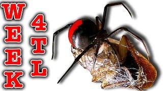 Killer spider vs spider redback nasty girls week 4 timelapse (graphic video)