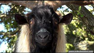 Ardèche - Les Chèvres des Gorges de l'Ardèche (4K)