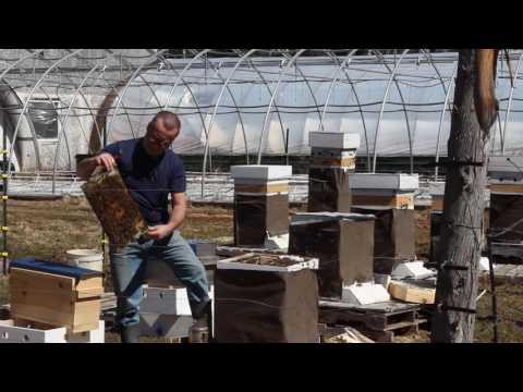 Boosting a Weak Hive