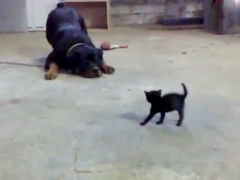 Youtube Little Dog Scares Cats