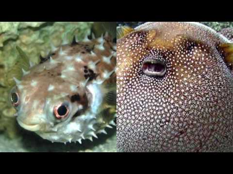 What's The Difference Between Porcupinefish And Pufferfish?