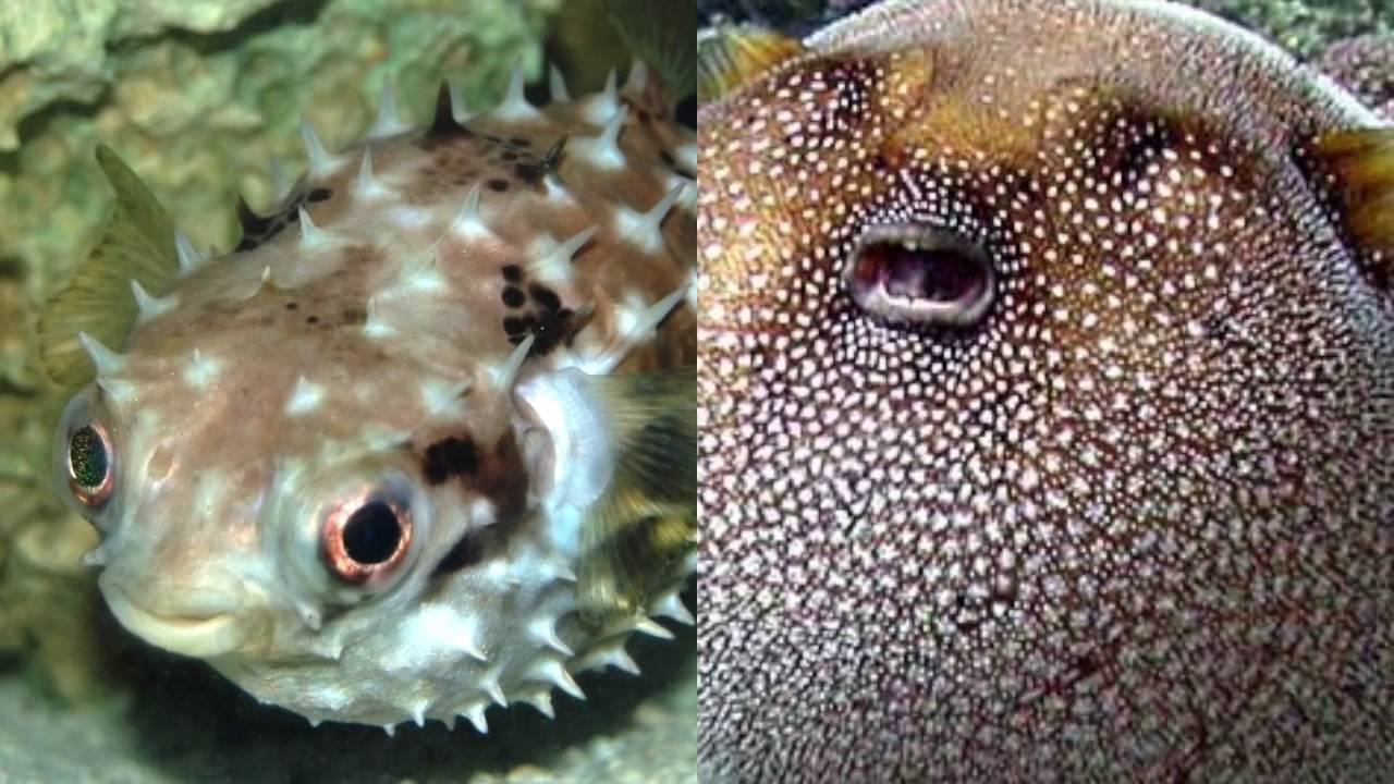What 39 s the difference between porcupinefish and pufferfish for Blowfish vs puffer fish