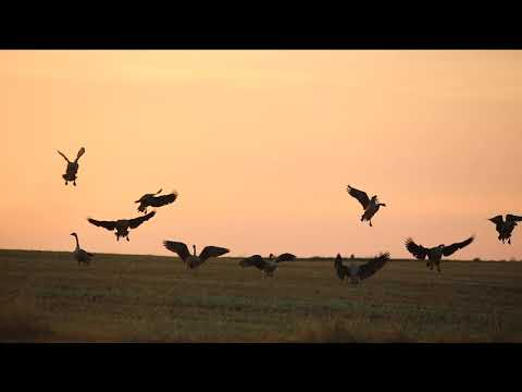 Migrator Mafia - North Dakota Early Goose Season 159 Bird Weekend!!!!!!!